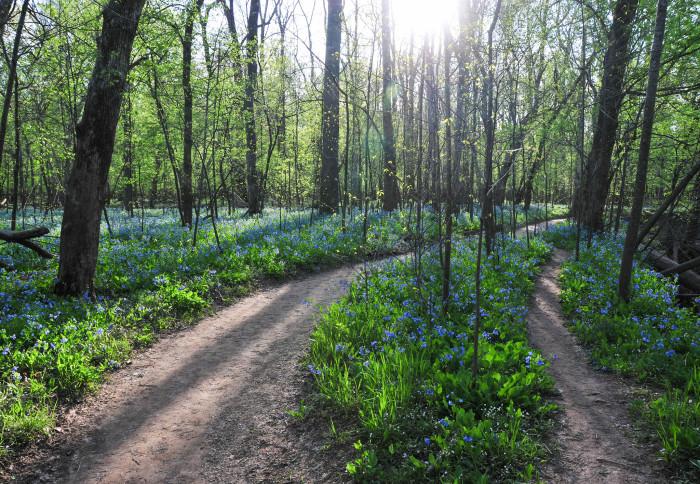 29. Virginia Bluebells along the Bull Run Occoquan Trail