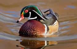 14. Wood Duck