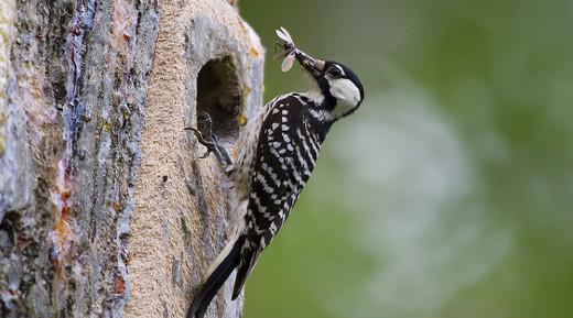 15. Red-Cockaded Woodpecker