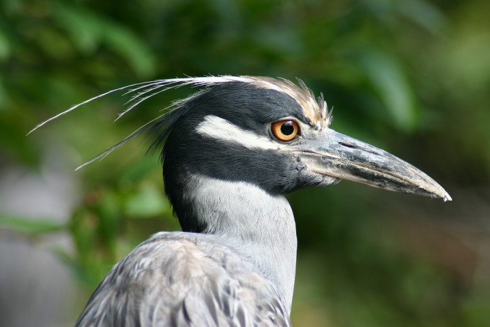 33. A Yellow-Crowned Night Heron