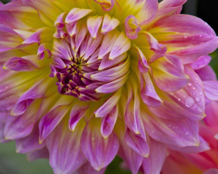 3. The photographer really captures the beauty of this dahlia growing in Rhinelander.