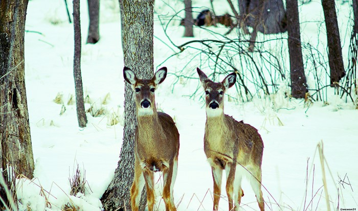 11. Gorgeous shot of two deer frolicking in snowy Brookfield.