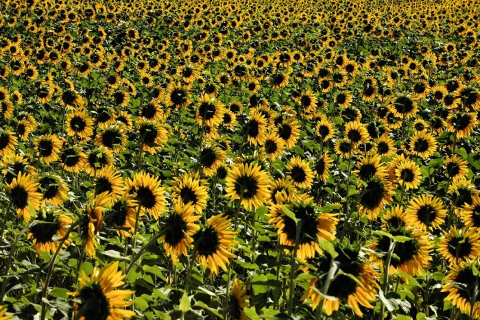 6. Illinois has some beautiful sunflowers, like the ones captured here in Rockton.