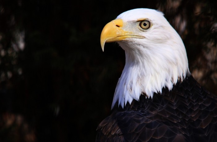 11. What's more patriotic than a bald eagle?