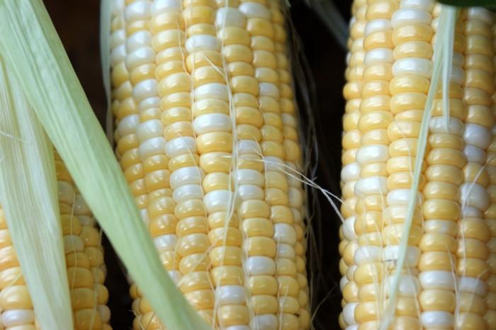 9. Corn