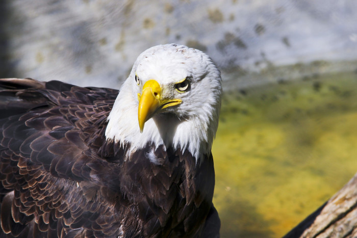 14) And the regal bald eagle .