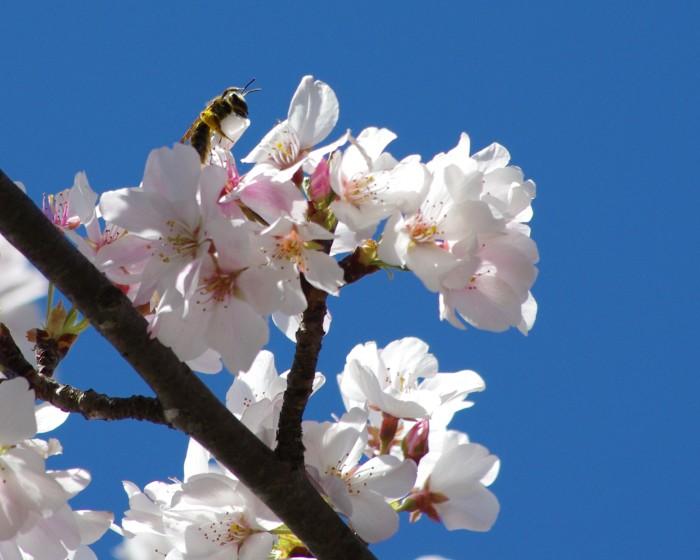 10. Arkansas Cherry Blossoms