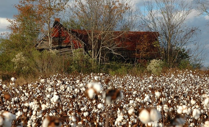 7) Old, decaying farmhouse amid cotton fields