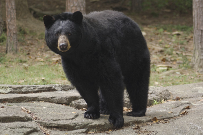 2. Black Bears