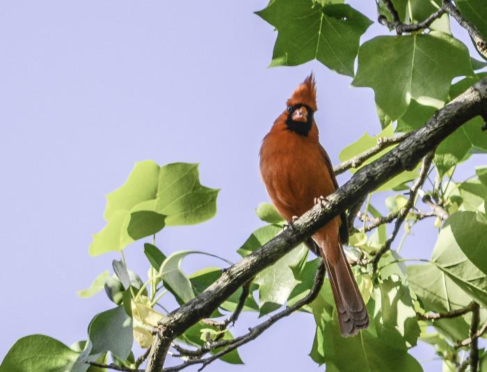 5. Cardinals