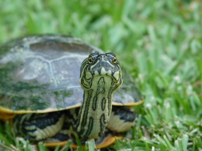 11) Chicken Turtle