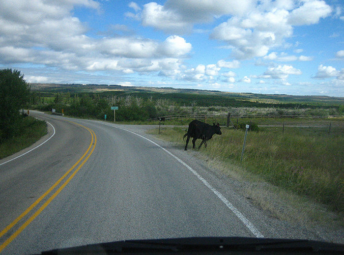 11. You've had to stop your car to wait for a loose cow to get out of the street.
