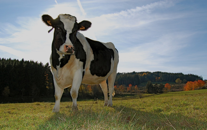 6) Our Idea of Fun is Cow Tipping