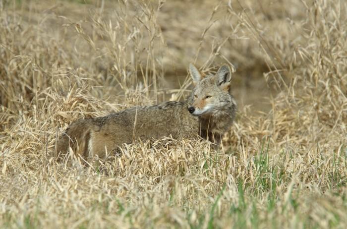 8. Coyotes