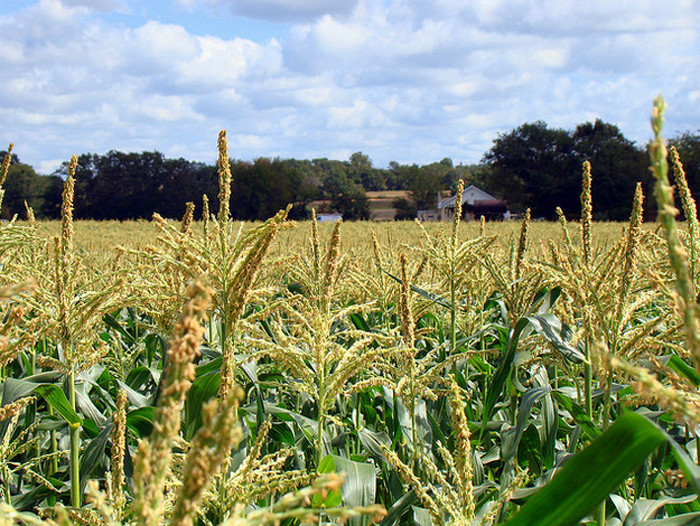 4. Your first job was detasseling corn.