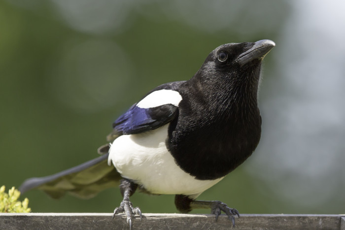3. Magpies