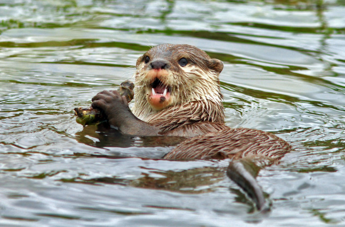 1. Nutria (also known as Coypu, or River Rat)