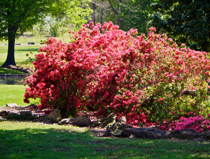 12. The Azalea Festival is one of the nation's finest springtime attractions.  The festival is located in historic Muskogee, OK inside Honor Heights Park.
