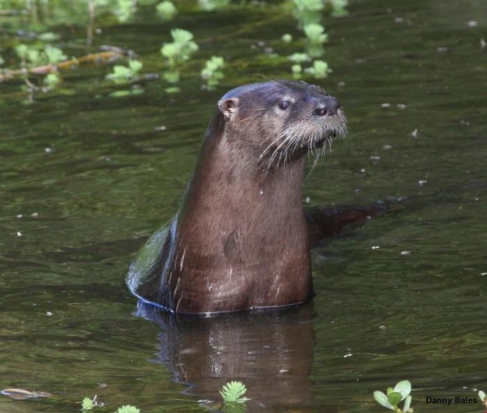 8. Otter at Wapanocca National Wildlife Refuge