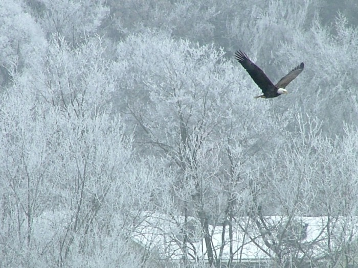 6. This shot of the lone bald eagle flying over the snow-covered trees is really cool