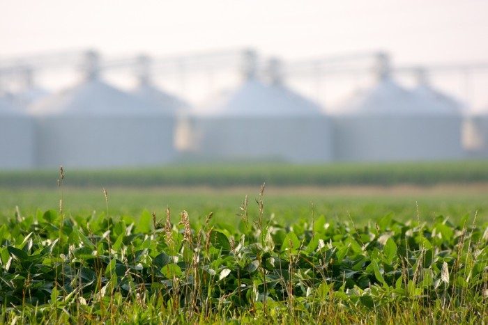 5. Soybeans...a common scene in Illinois (Seymour)