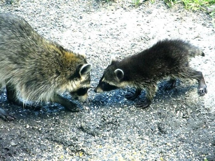 Raccoon Mother and Baby