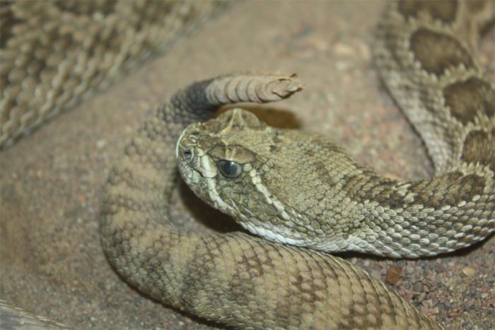 9) Rattlesnakes