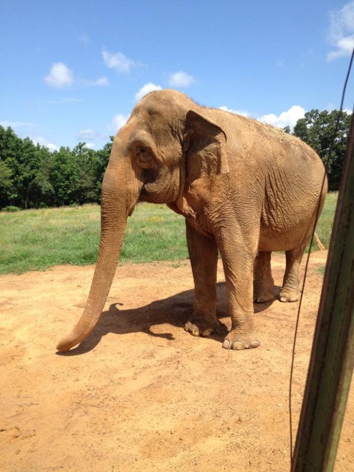 5. Resident elepant at Riddles Elephant Sanctuary