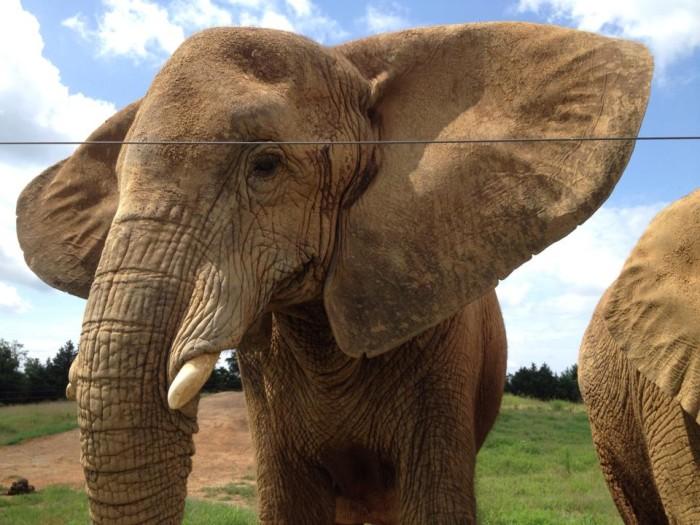 1. Elephant closeup at Riddles Elephant Sanctuary