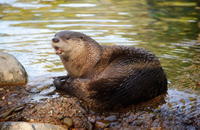 5. River Otters