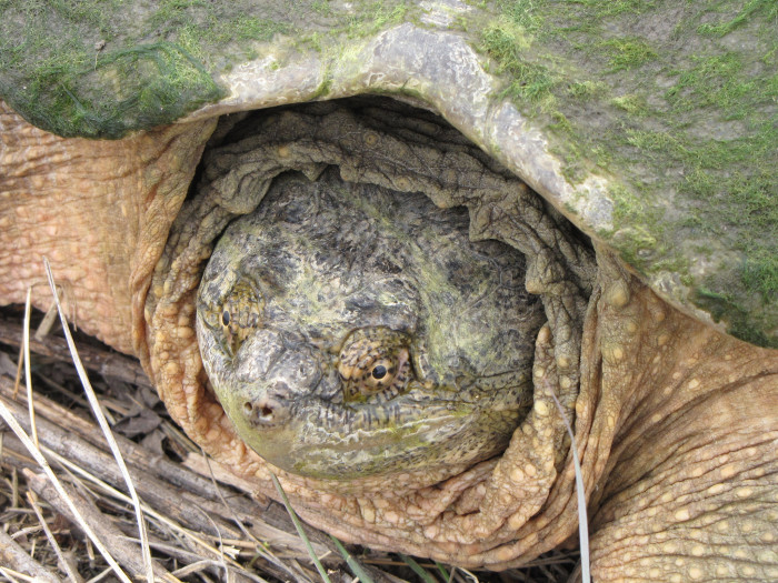 Snapping Turtle, Phelps County