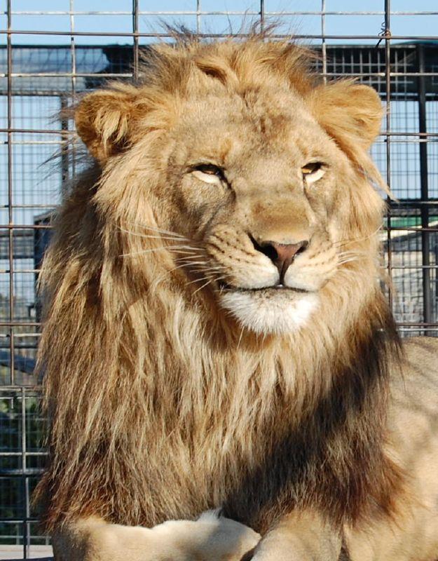 17. Lion at Turpentine Creek Wildlife Refuge