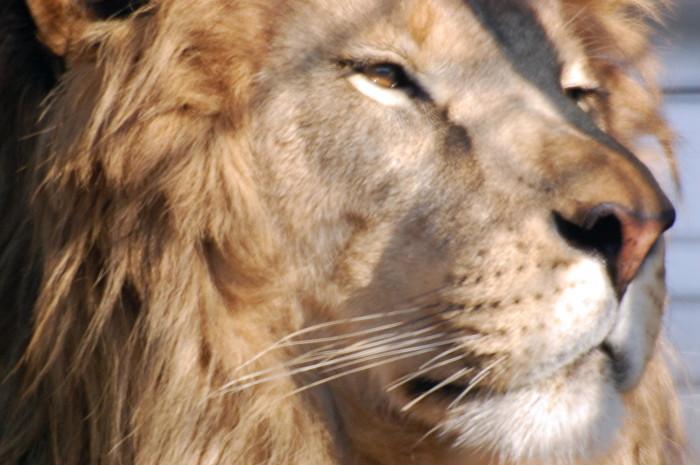 18. Lion Closeup at Turpentine Creek Wildlife Refuge