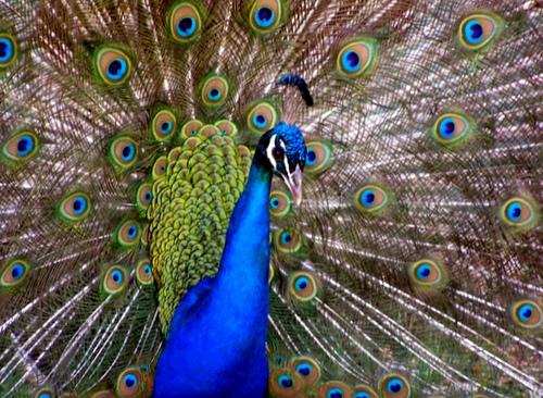 19. Peacock at Turpentine Creek Wildlife Refuge