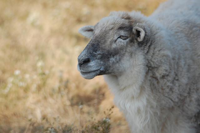 20. Sheep at  Turpentine Creek Wildlife Refuge