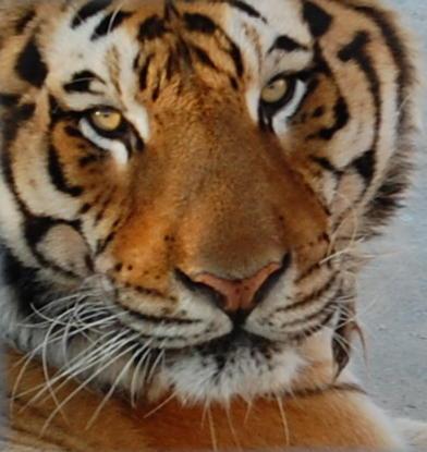 16. Tiger at Turpentine Creek Wildlife Refuge