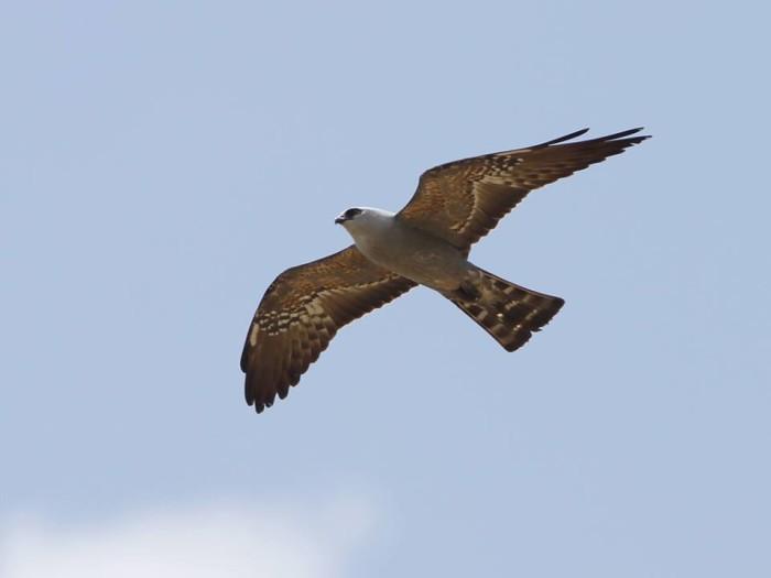 14. Mississippi kite in flight at Wapanocca National Wildlife Refuge