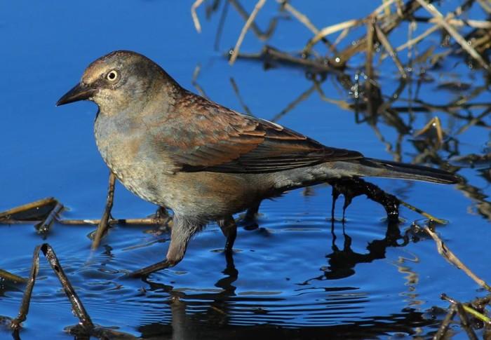 13. Rusty blackbird at Wapanocca National Wildlife Refuge