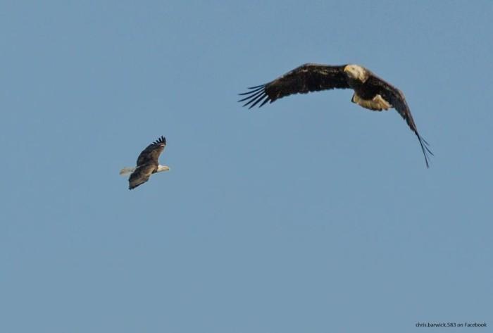 11. Bald eagles at Wapanocca National Wildlife Refuge