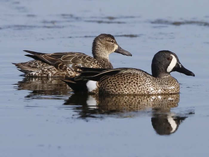 15. Blue winged teal at Wapanocca National Wildlife Refuge
