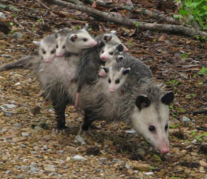 9. Possum mom & babies at Wapanocca National Wildlife Refuge