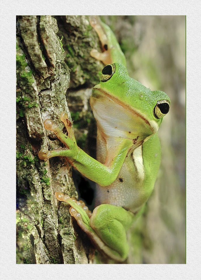 7. Tree frog at Wapanocca National Wildlife Refuge