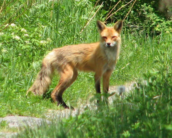 14. And foxes too!