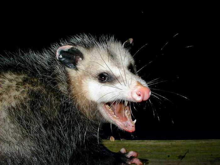 6. While driving late at night, you might come across a possum.