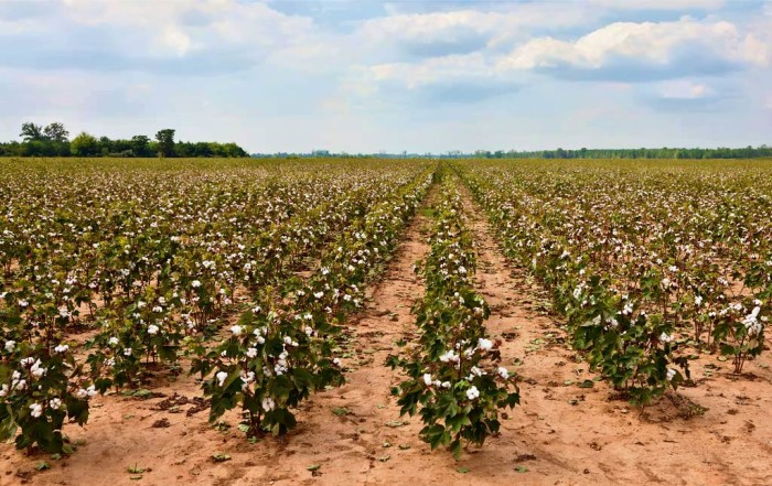 10. No list of Mississippi farms would be complete without a picture of one of the state's main crops.