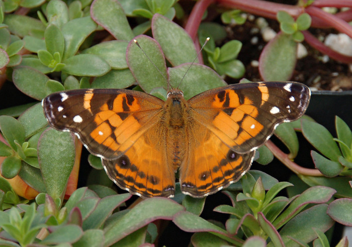 4.) American painted lady