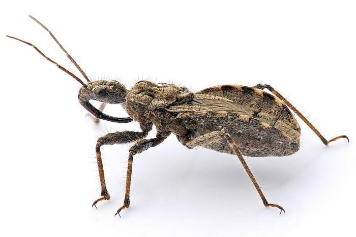 5.) Assassin bug