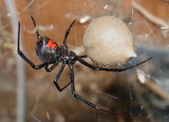 6. Black widow spider