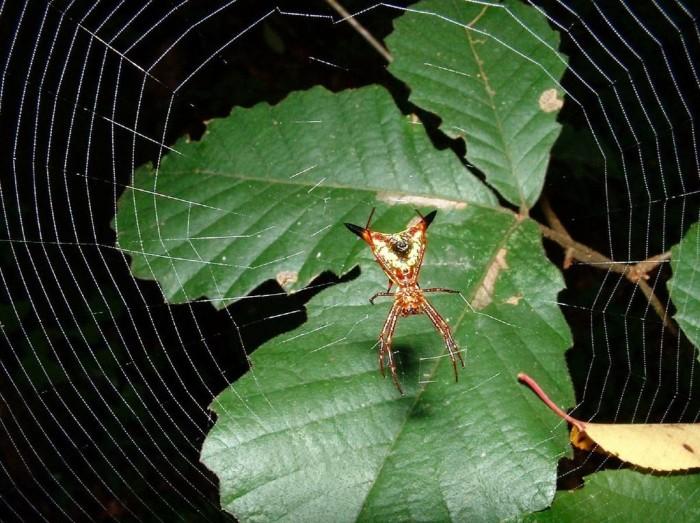 1.) Arrow-shaped Micrathena Spider