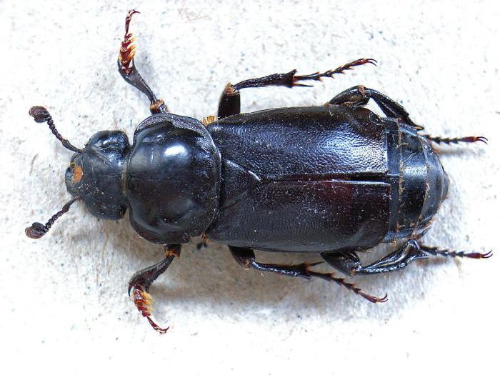 7.) Burying Beetle